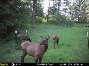 Idaho wildlife food plot for elk, deer and turkeys.