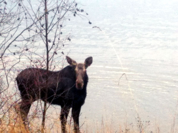 """Good Morning"" from a Moose"